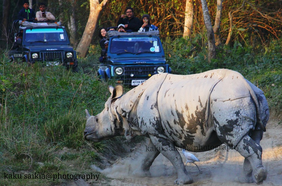 The Great Indian Rhino in Kaziranga. Photo by Kaku Saikia